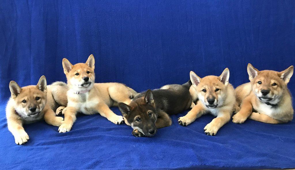 A-litter five shikoku puppies, 5/7/17 - Akitsu Shikoku Ken
