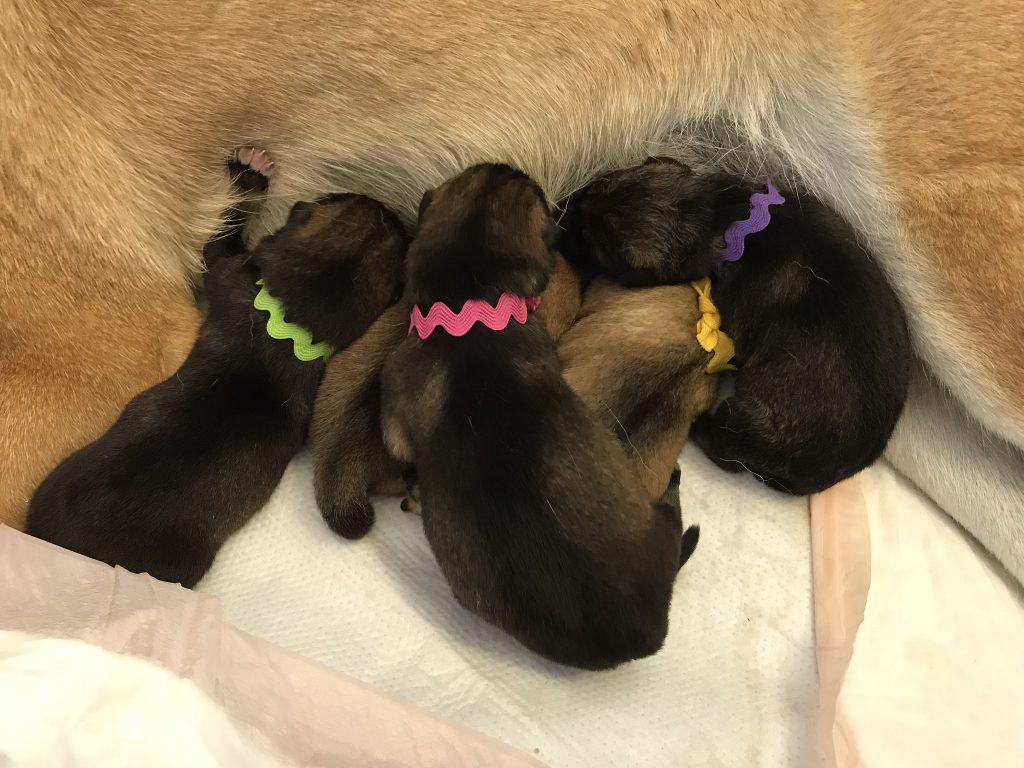 B Litter Shikoku puppies 10-22-17 - Akitsu Shikoku Ken