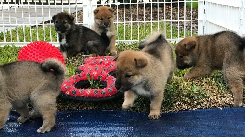 A-litter five shikoku puppies, 4/4/17 - Akitsu Shikoku Ken