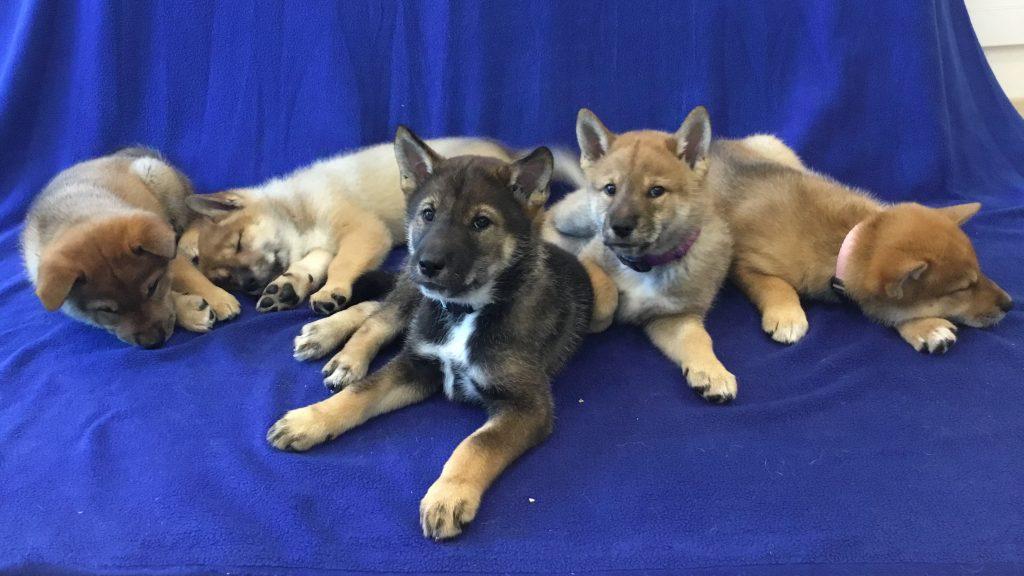 A-litter five shikoku puppies, 4/25/17 - Akitsu Shikoku Ken